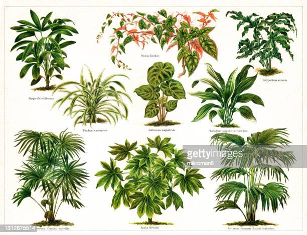 old engraved illustration of foliage plants - chromolithograph stock pictures, royalty-free photos & images