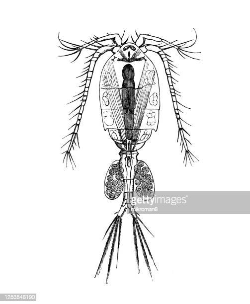 old engraved illustration of freshwater cyclops crustaceans - ciclope foto e immagini stock