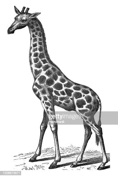 old engraved illustration of giraffe - cetacea, edentata animal. antique illustration, popular encyclopedia published 1894. copyright has expired on this artwork - neckline stock pictures, royalty-free photos & images