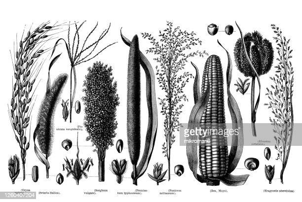 old engraved illustration of grain plants, grainy plants - sorghum stock pictures, royalty-free photos & images
