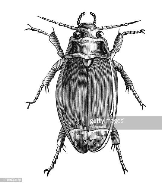 old engraved illustration of great water beetle, great diving beetle - entomology, insects. antique illustration, popular encyclopedia published 1894. copyright has expired on this artwork - diving beetle stock pictures, royalty-free photos & images