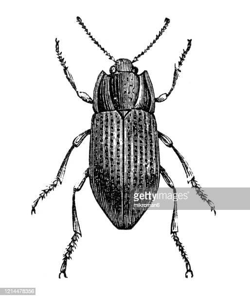 old engraved illustration of ground beetle - entomology, insects. antique illustration, popular encyclopedia published 1894. copyright has expired on this artwork - engraving stock pictures, royalty-free photos & images