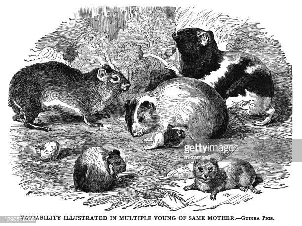 old engraved illustration of guinea pigs - medium group of animals stock pictures, royalty-free photos & images