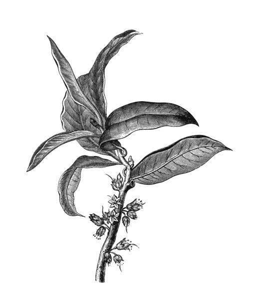 Old engraved illustration of Gutta-percha, Palaquium gutta (Isonandra gutta)