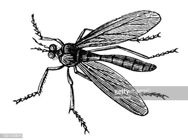 old engraved illustration of hawk fly, crane fly - entomology, myriapoda, arachnida. antique illustration, popular encyclopedia published 1894. copyright has expired on this artwork - bot fly stock pictures, royalty-free photos & images