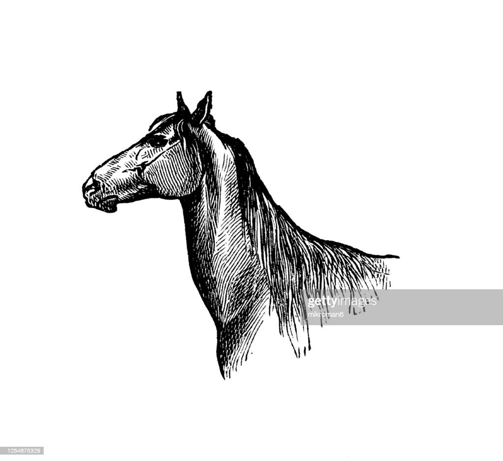 Old Engraved Illustration Of Head Of Horse With Deer Neck Equine Anatomy High Res Stock Photo Getty Images