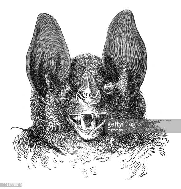 old engraved illustration of head of vampire bat - cheiroptera, insectivora animals. antique illustration, popular encyclopedia published 1894. copyright has expired on this artwork - engraving stock pictures, royalty-free photos & images