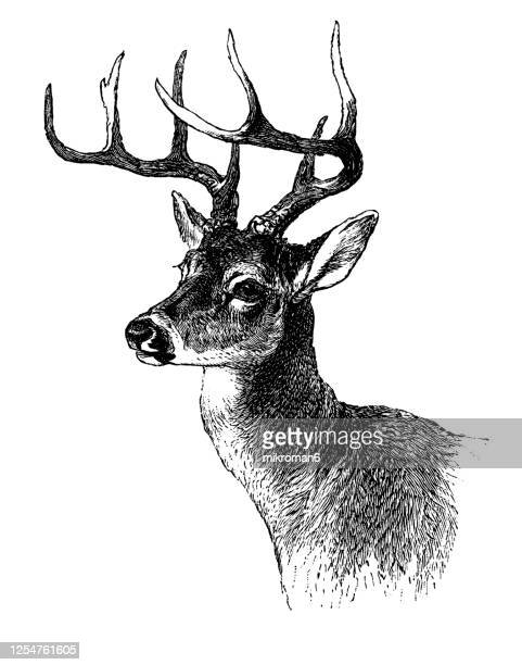old engraved illustration of head of whitetail deer - antler stock pictures, royalty-free photos & images