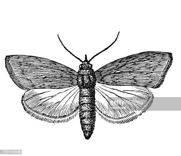 old engraved illustration of honey moth (the lesser wax moth - achroia grisella) - entomology, myriapoda, arachnida. antique illustration, popular encyclopedia published 1894. copyright has expired on this artwork - bot fly stock pictures, royalty-free photos & images