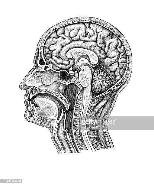 old engraved illustration of human brain, head and neck - human body part stock pictures, royalty-free photos & images