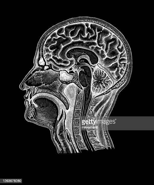 old engraved illustration of human brain, head and neck - artery stock pictures, royalty-free photos & images