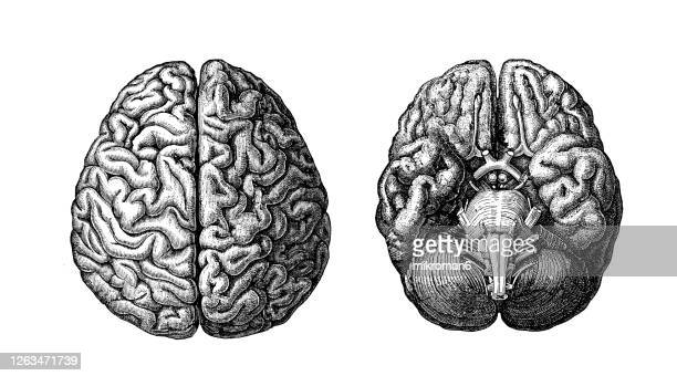 old engraved illustration of human brain - artery stock pictures, royalty-free photos & images