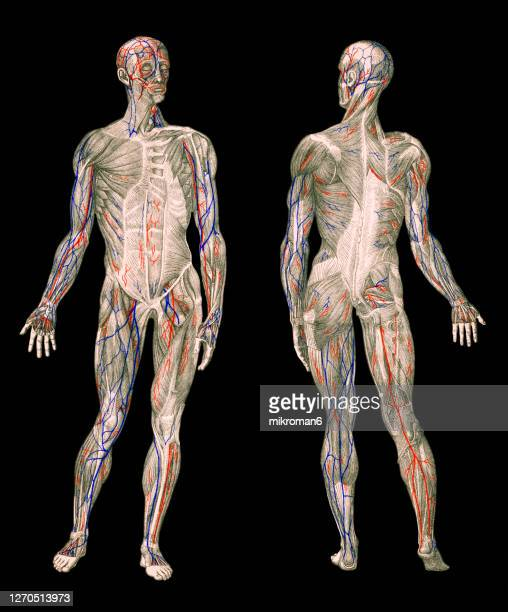 old engraved illustration of human circulatory system, human veins - artery stock pictures, royalty-free photos & images