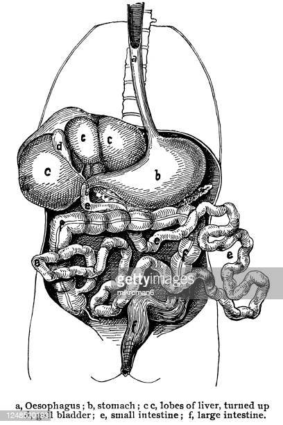 old engraved illustration of human digestive system - human intestine stock pictures, royalty-free photos & images