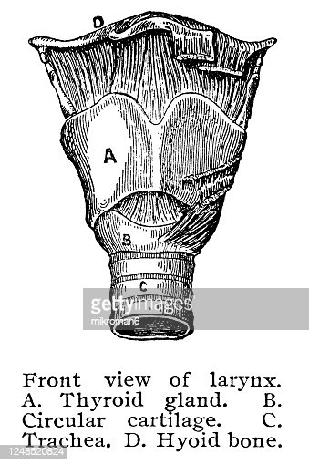 Old Engraved Illustration Of Human Larynx High Res Stock Photo