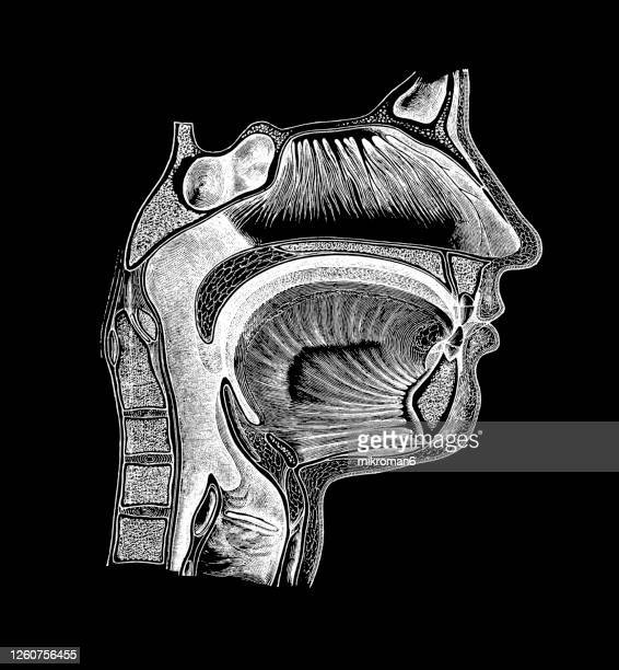 old engraved illustration of human mouth, nose and throat - anatomy stock pictures, royalty-free photos & images