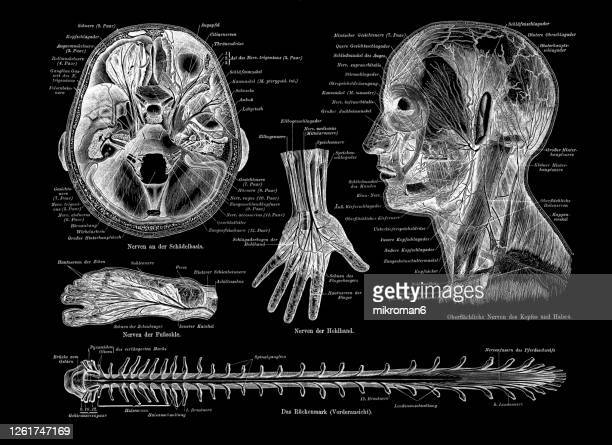 old engraved illustration of human nerve, nervous system. - monogram stock pictures, royalty-free photos & images