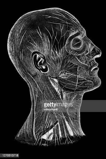 old engraved illustration of human nerve, nervous system. - shape stock pictures, royalty-free photos & images