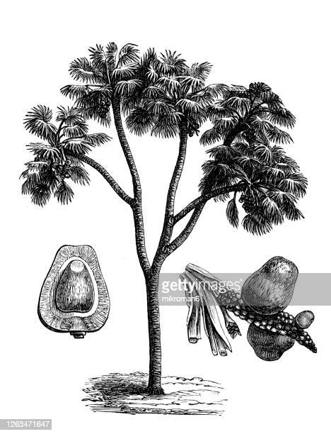 old engraved illustration of hyphaene thebaica, doum palm, gingerbread tree - drawing stock pictures, royalty-free photos & images