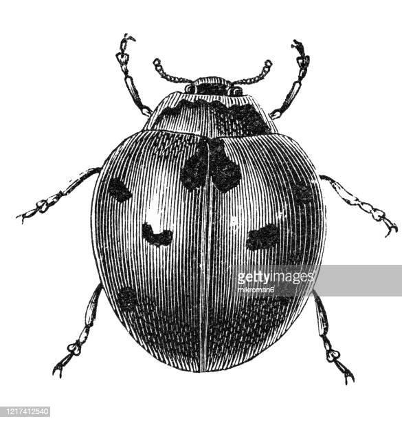 old engraved illustration of ladybird beetle - entomology. antique illustration, popular encyclopedia published 1894. copyright has expired on this artwork - coccinella foto e immagini stock