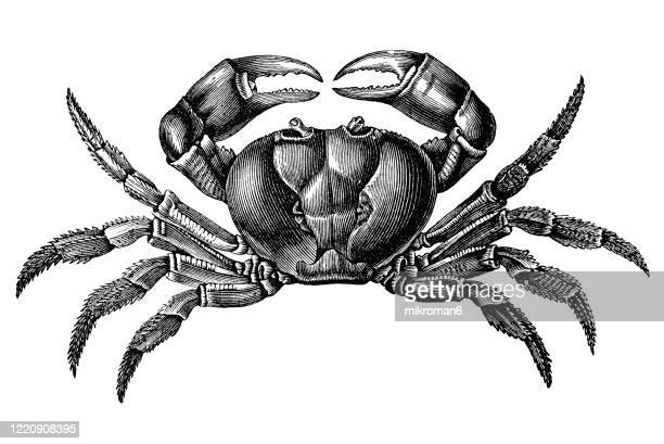 old engraved illustration of land crab - crustaceans and arachnida. antique illustration, popular encyclopedia published 1894. copyright has expired on this artwork - illustration stock pictures, royalty-free photos & images