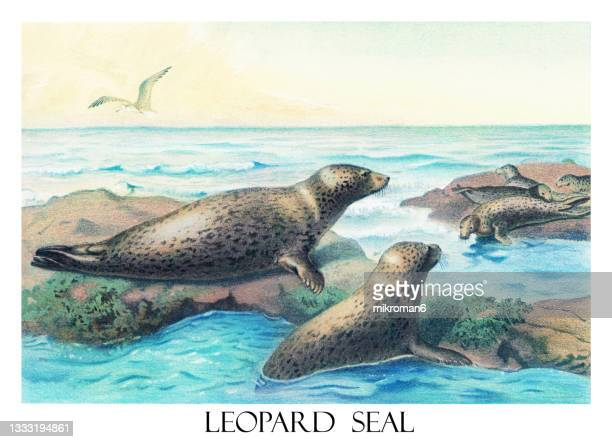 old engraved illustration of leopard seal (hydrurga leptonyx) - leopard seal stock pictures, royalty-free photos & images