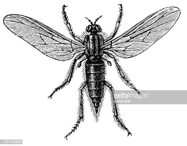 old engraved illustration of leptis fly - entomology, myriapoda, arachnida. antique illustration, popular encyclopedia published 1894. copyright has expired on this artwork - bot fly stock pictures, royalty-free photos & images