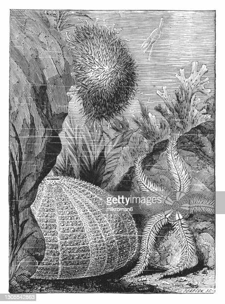 old engraved illustration of life in the oceans, marine animals, starfish - coral sea stock pictures, royalty-free photos & images