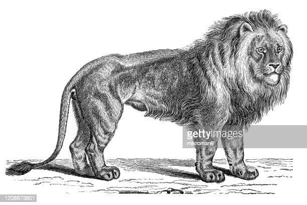 old engraved illustration of lion - carnivorus animal. antique illustration, popular encyclopedia published 1894. copyright has expired on this artwork - engraving stock pictures, royalty-free photos & images