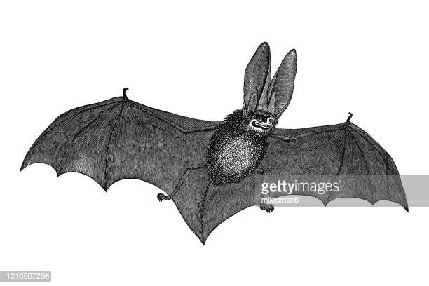 old engraved illustration of long eared bat - cheiroptera, insectivora animal. antique illustration, popular encyclopedia published 1894. copyright has expired on this artwork - bat animal stock pictures, royalty-free photos & images