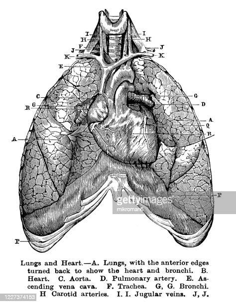old engraved illustration of lungs and heart - anatomy stock pictures, royalty-free photos & images