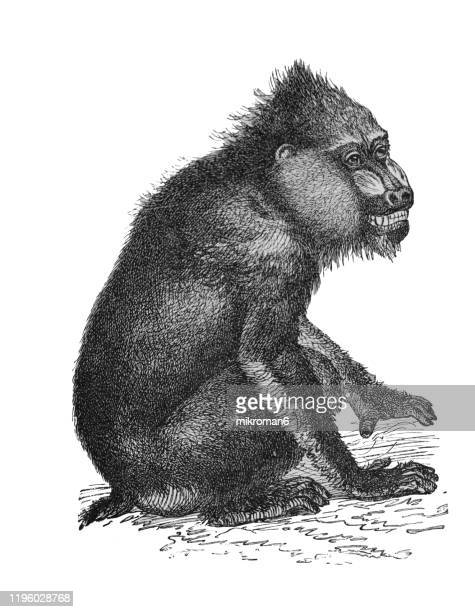 old engraved illustration of mandrill ape. antique illustration, popular encyclopedia published 1894. copyright has expired on this artwork - engraving stock pictures, royalty-free photos & images