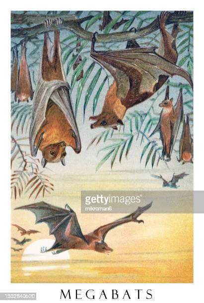 old engraved illustration of megabats, fruit bats, flying foxes (family pteropodidae) - illustration stock pictures, royalty-free photos & images