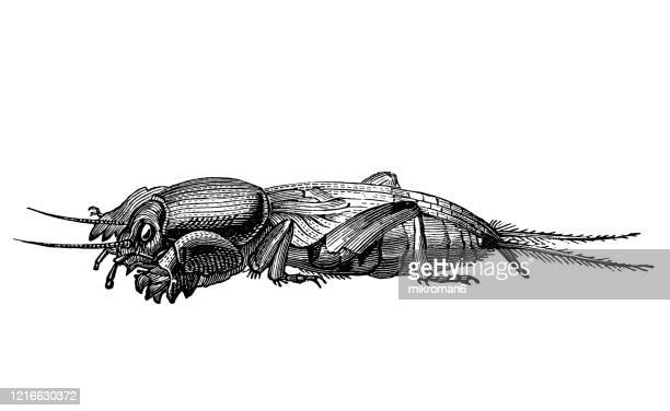 old engraved illustration of mole cricket - entomology, insects. antique illustration, popular encyclopedia published 1894. copyright has expired on this artwork - mole cricket stock pictures, royalty-free photos & images