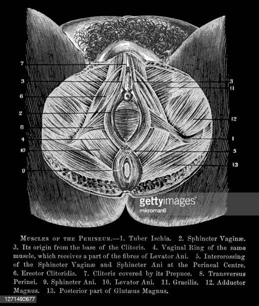 old engraved illustration of muscles of the woman's perineum - klitoris stock-fotos und bilder