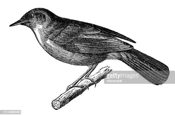 old engraved illustration of nightingale bird - ornithology - perching birds. antique illustration, popular encyclopedia published 1894. copyright has expired on this artwork - nightingale stock pictures, royalty-free photos & images