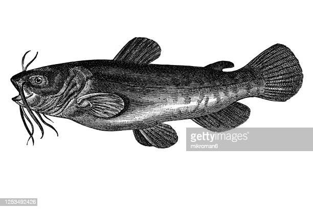 old engraved illustration of of the catfish - catfish stock pictures, royalty-free photos & images
