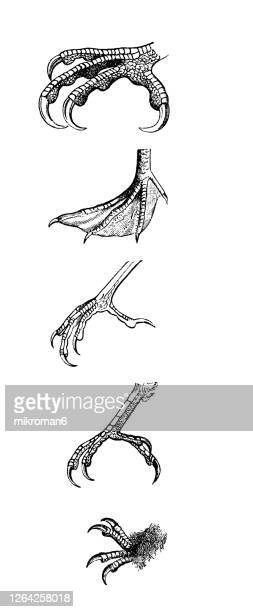 old engraved illustration of ornithology - body parts of the birds, foot shapes of birds. - membrane stock pictures, royalty-free photos & images