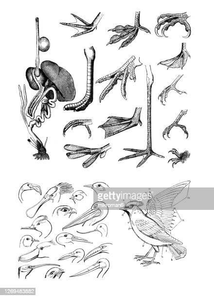 old engraved illustration of ornithology - body parts of the birds - gliedmaßen körperteile stock-fotos und bilder