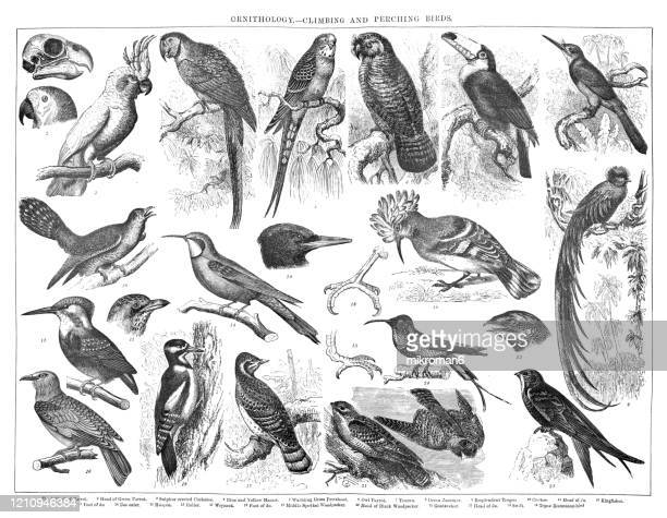 old engraved illustration of ornithology - climbing and perching birds. antique illustration, popular encyclopedia published 1894. copyright has expired on this artwork - bird stock pictures, royalty-free photos & images