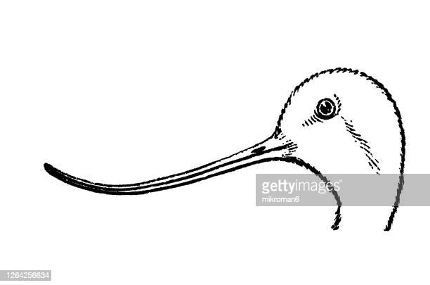 old engraved illustration of ornithology - head and beak of avocet bird - membrane stock pictures, royalty-free photos & images