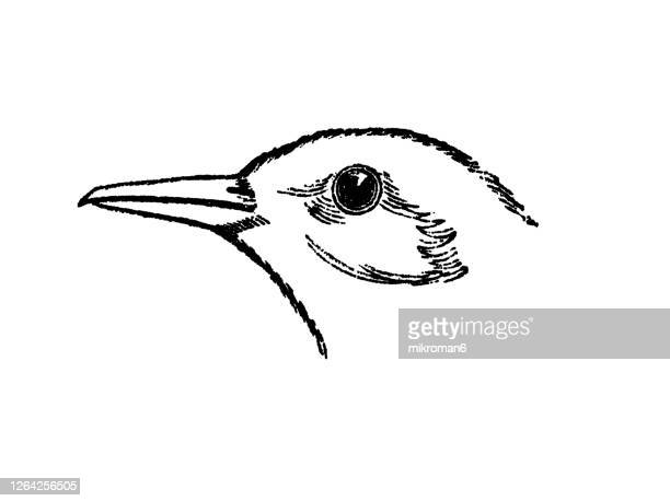 old engraved illustration of ornithology - head and beak of scissor-beak bird (rhynchops nigra) - membrane stock pictures, royalty-free photos & images