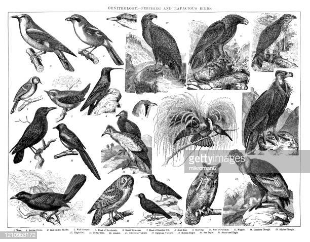 old engraved illustration of ornithology - perching and rapacious birds. antique illustration, popular encyclopedia published 1894. copyright has expired on this artwork - bird stock pictures, royalty-free photos & images