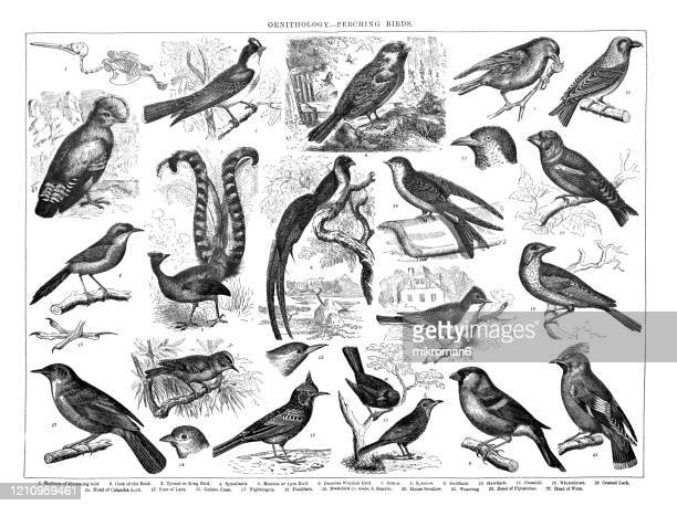 old engraved illustration of ornithology - perching birds. antique illustration, popular encyclopedia published 1894. copyright has expired on this artwork - bird stock pictures, royalty-free photos & images
