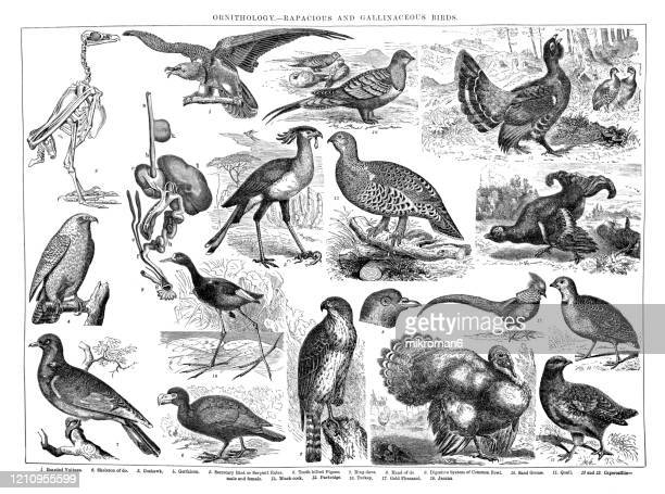 old engraved illustration of ornithology - rapacious and gallinaceous birds. antique illustration, popular encyclopedia published 1894. copyright has expired on this artwork - bearded vulture stock pictures, royalty-free photos & images