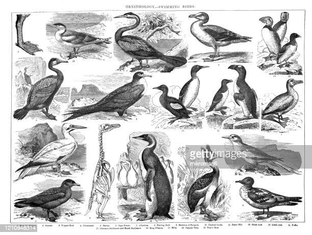 old engraved illustration of ornithology - swimming birds. antique illustration, popular encyclopedia published 1894. copyright has expired on this artwork - black and white stock pictures, royalty-free photos & images