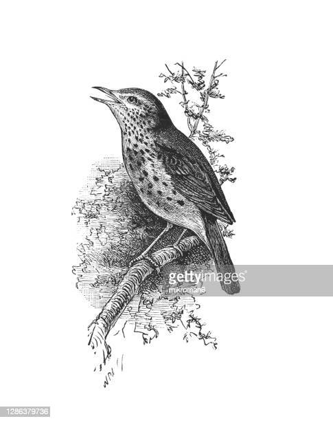 old engraved illustration of ornithology - the song thrush (turdus philomelos) - europe stock pictures, royalty-free photos & images