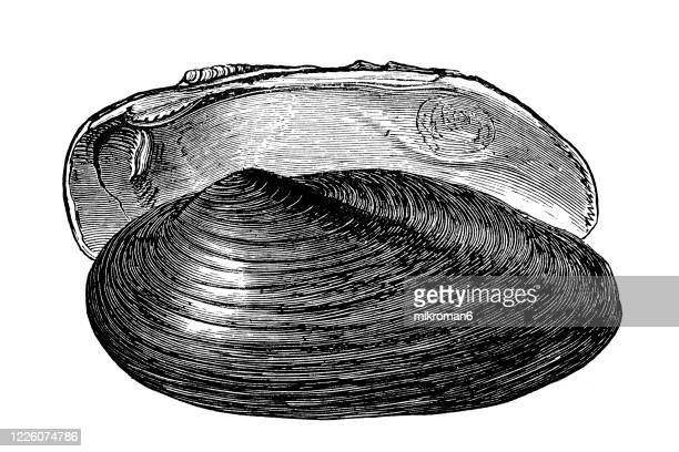 old engraved illustration of painters mussel (unio pictorum) - mollusca and echinodermata - morbillivirus stock pictures, royalty-free photos & images