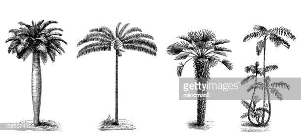 old engraved illustration of palm trees - palm tree stock pictures, royalty-free photos & images