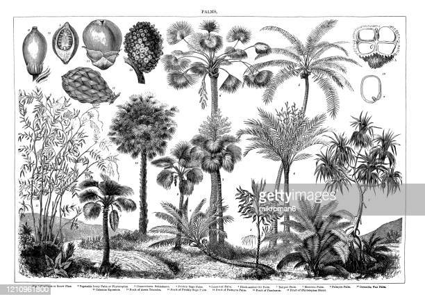 old engraved illustration of palms. antique illustration, popular encyclopedia published 1894. copyright has expired on this artwork - illustration stock pictures, royalty-free photos & images